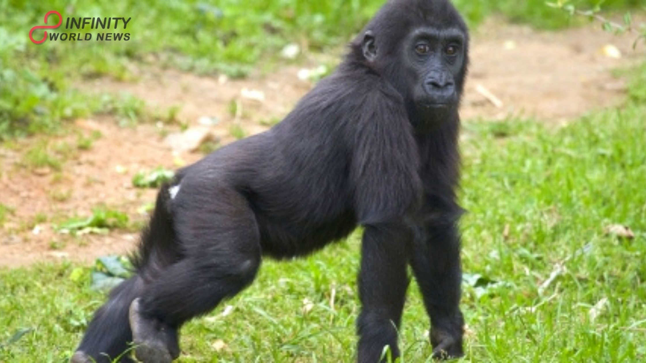 New Study Discovers, Gorillas, Orangutans, Whales Run a High Risk of Contracting Covid-19