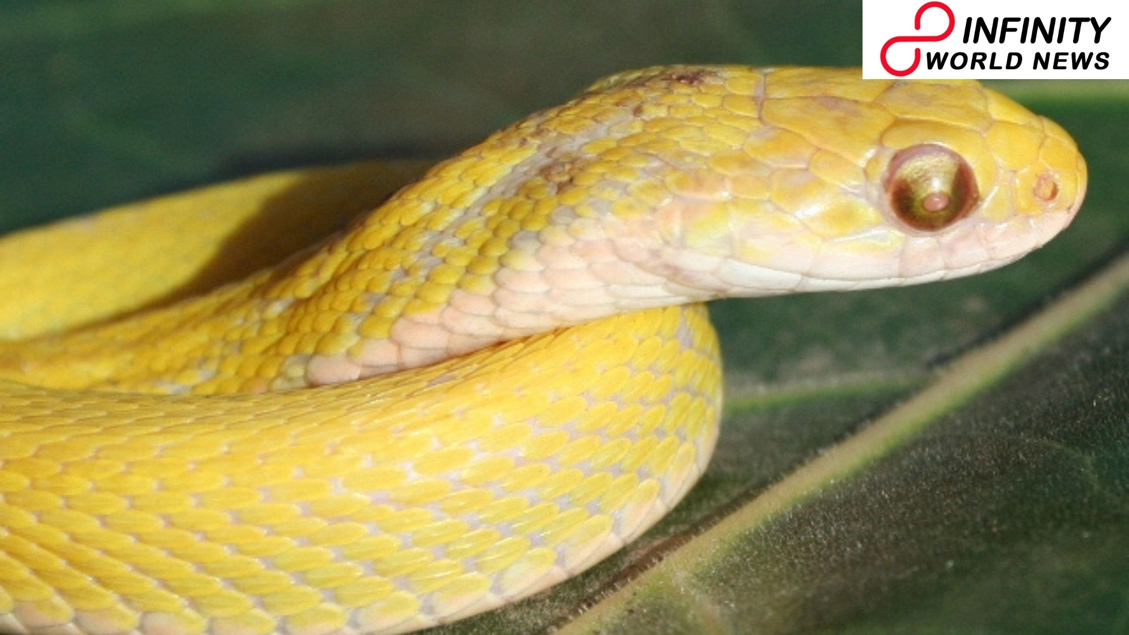 A $300 Albino Snake Steals from Pet Store in Broad Daytime By US Couple