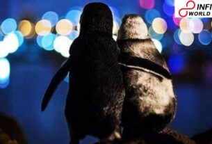 Viral Photo of 2 Widowed Penguins Captured in Melbourne gains Big at Photography Contest