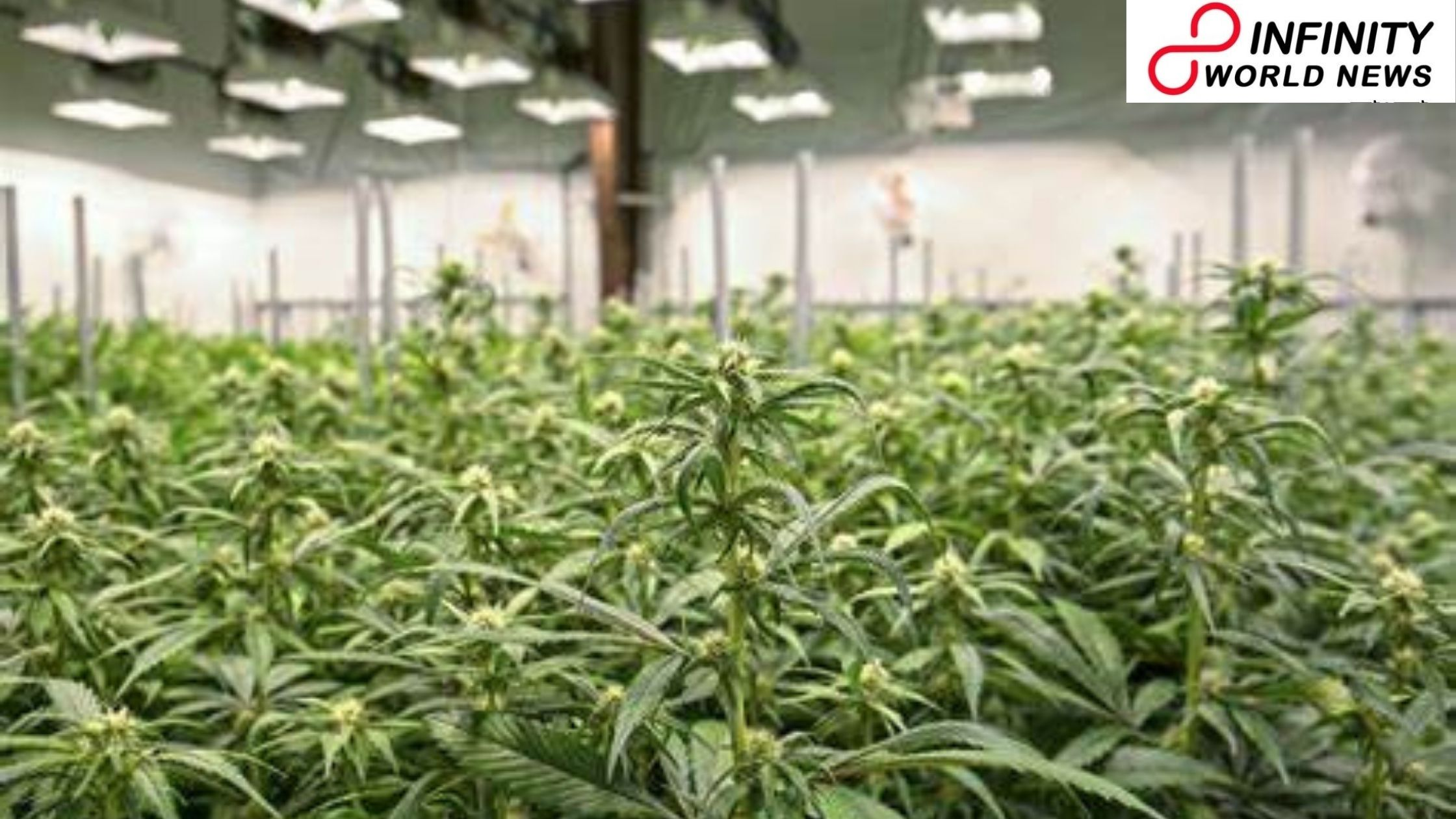What Happens if India Sanctions Marijuana: It Can Touch New 'High' also Beat China at its Game Too